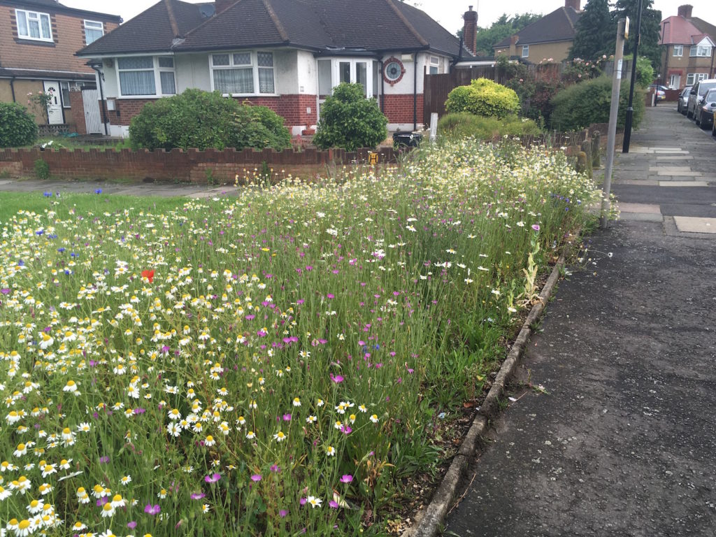 Spinney Drive wildflowers